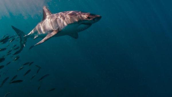 wildaid-shark6